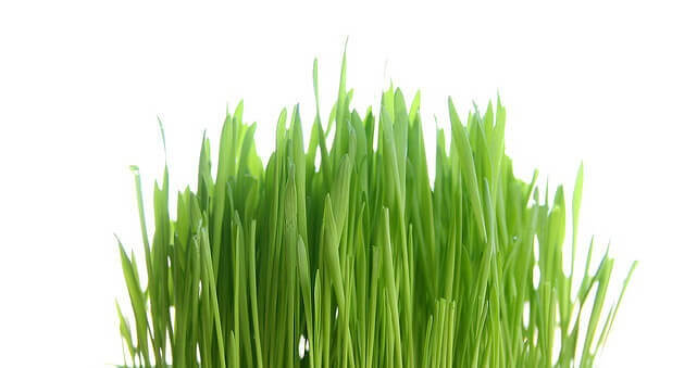Kiełkownica Easy Green trawa pszeniczna