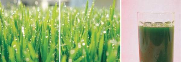 Sok z trawy pszenicznej - wyciskarka Cooksense